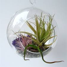 hanging terrarium with air plants grounded modern living