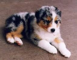 australian shepherd male names 36 best border collie images on pinterest animals miniature