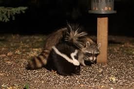 Raccoons In Backyard Smaller Animals