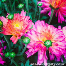 how to care for fall mums hometalk