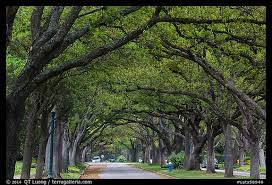 picture photo tree tunnel boulevard houston usa