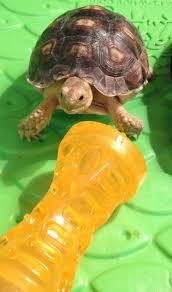Tortoise Home Decor 55 Best Tortoise Habitats Images On Pinterest Tortoise Habitat