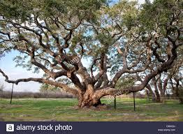 big tree southern live oak tree stock photo royalty free image