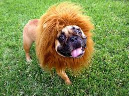 Lion Halloween Costumes Dogs 31 Frenchie Costumes Images Animals Halloween