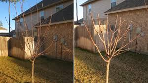 how to prune fruit trees avocado apple nectarine plum
