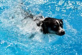 pomsky dog breed information u0026 pictures u2013 dogtime