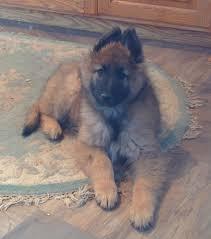belgian sheepdog for sale uk welcome to u003cfont size u003d