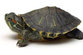 pets turtles