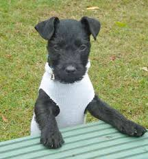 patterdale terrier puppies