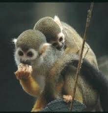 common squirrel monkeys