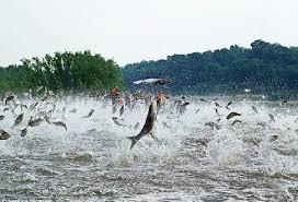 asian jumping carp