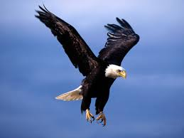 flying eagle picture