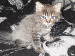 tibetan cat