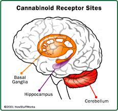effects of pot on the brain