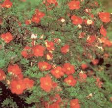 potentilla fruticosa red robin