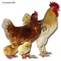 sexlink chickens