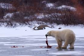 hudson bay polar bears