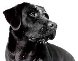 dog labrador