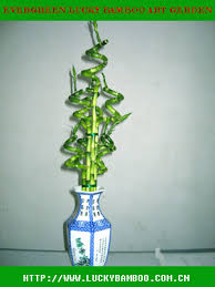 curly lucky bamboo