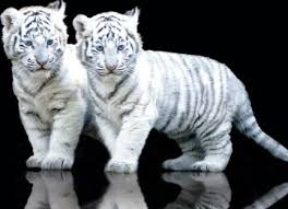 cubs cat