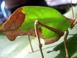 green leaf bugs
