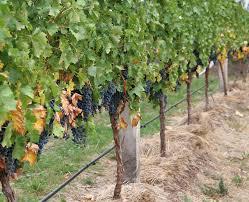 picture of grape vines