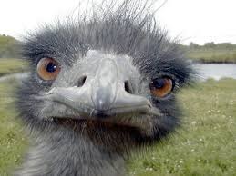emu pictures