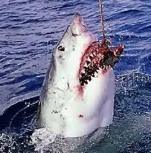 great white shark predators