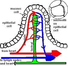 diagram of a villus
