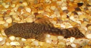 bristle nose plecos