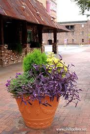 purple sweet potato vine