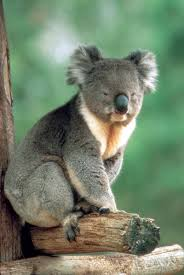 endangered animals koala