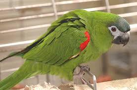 hahns parrot