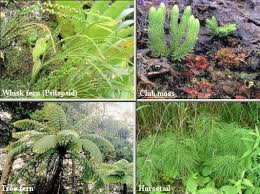 types of ferns