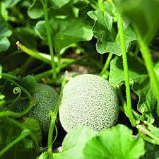 grow cantaloupe