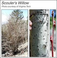 scouler willow
