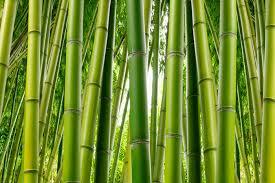 bamboo wallpaper mural