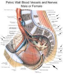 pudendal nerves