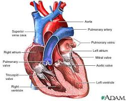 anatomical heart diagram