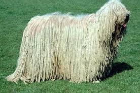 komondor dog pictures