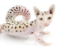 snow leopard geckos