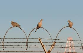 mourning dove hunting