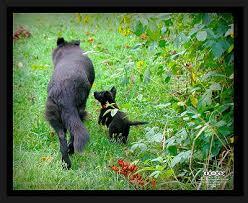 german shepherd black puppy