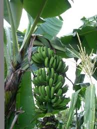 banana growth
