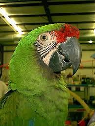 macaws parrot