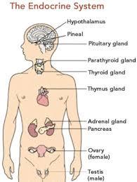 diagram endocrine system