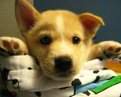 corgi mix puppy