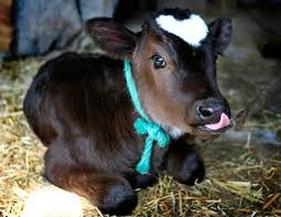 cute pictures of cows