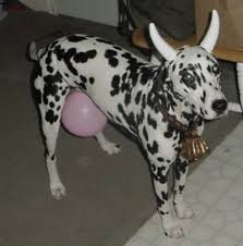 pictures of cow dogs