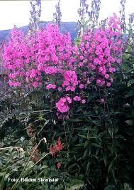 phlox maculata